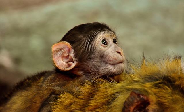 脳の進化 類人猿 ヒト 脳の進化 類人猿 ヒト コミュニケーション
